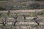 Their dormant vineyards in Garraf