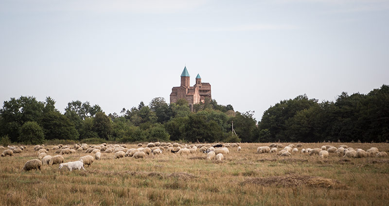 Gremi Castle and well, sheep