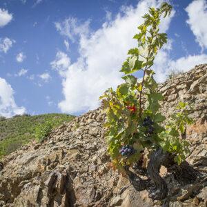Old vines in the Mas de la Rosa vineyard