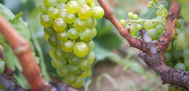 Carinyena Blanca: Tasting a grape that's finding its place in Empordà