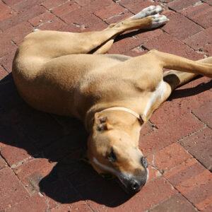 Resting hound at a Stellenbosch winery