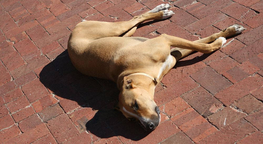 Resting hound at a Stellenbosch winery
